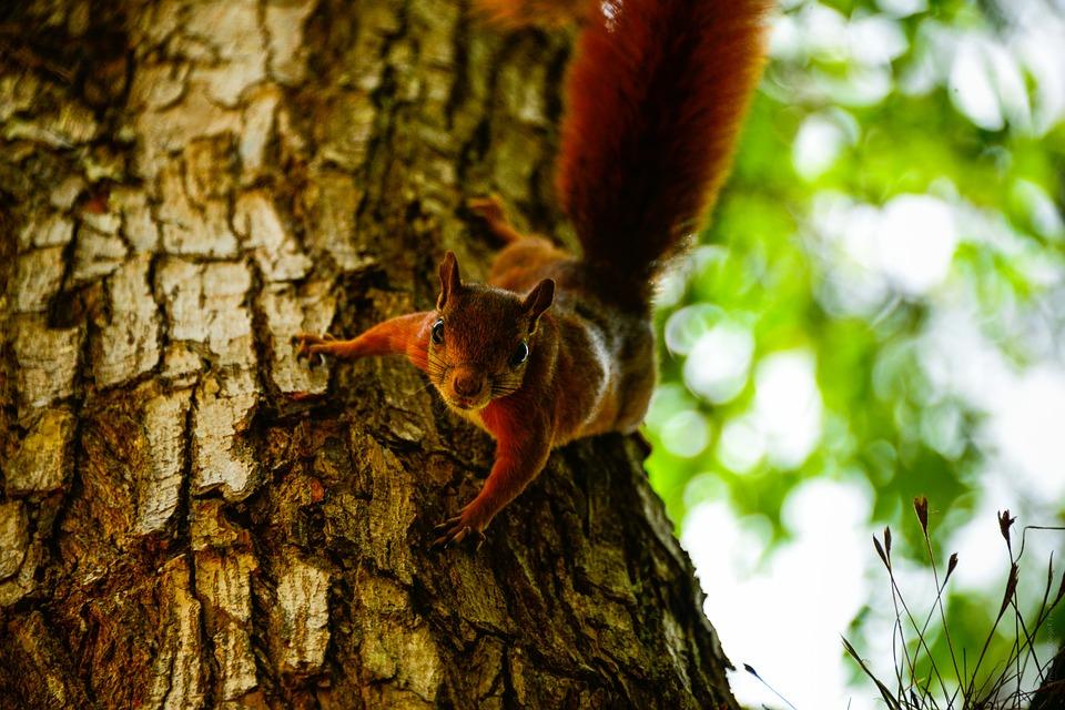 Help save red squirrels - volunteer now!