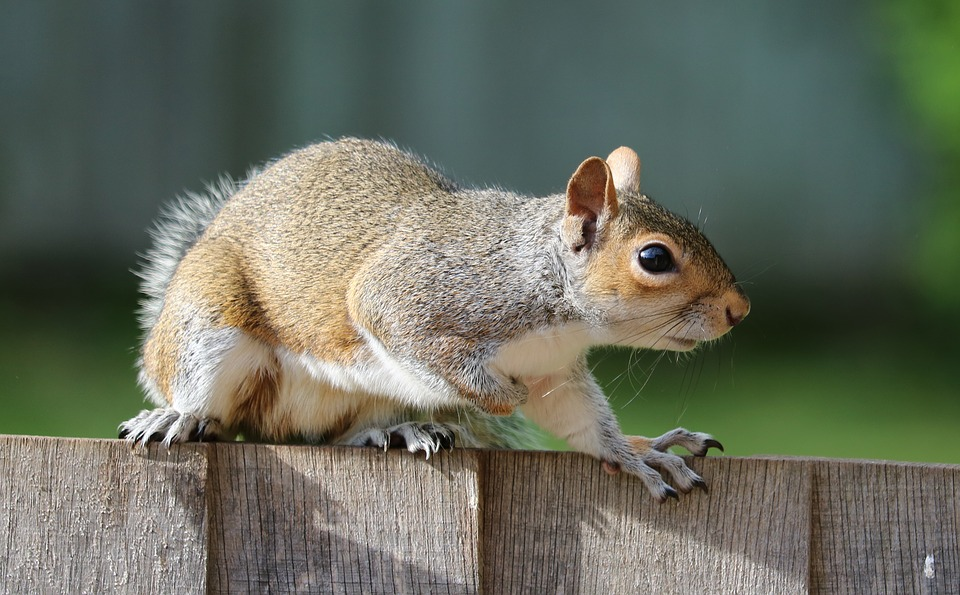 How to going about culling grey squirrels