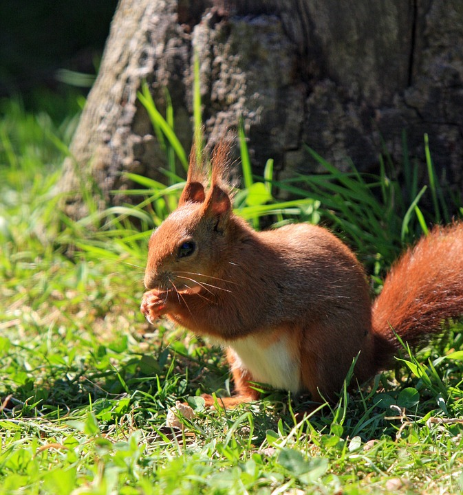 What does being a red squirrel volunteer mean?